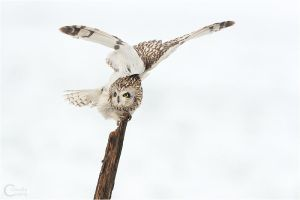 Short-eared Owl Relaxing by ClaudeG