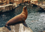 Sea Lion by MonsterBrand