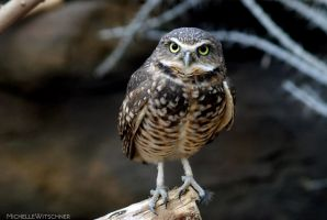 Owls make the best model by MicWits101