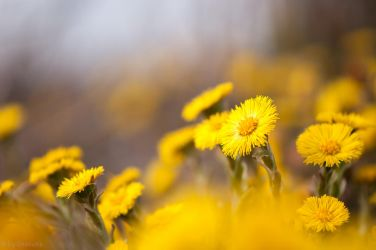 Coltsfoot Flowers by enaruna