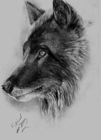 The Grey Wolf by Mohamed Ziou by MoZiou