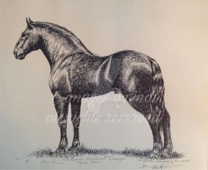 Percheron Stallion  Dragon  Born in 1904 by SarmatianWarrior