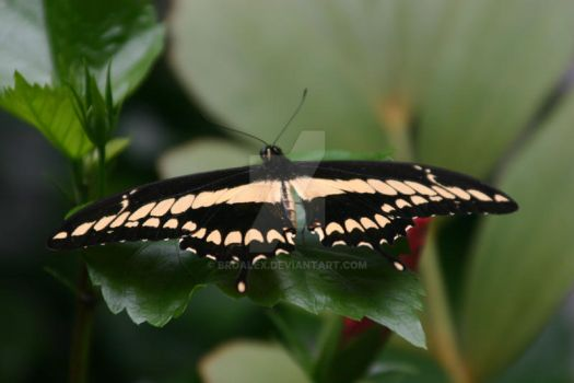 Butterfly on a green leaf by broalex