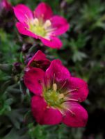 Pink Flowers by latrieste