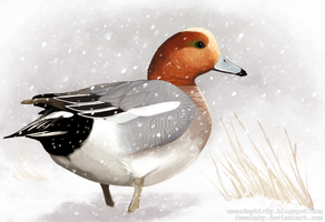 eurasian wigeon for uncle charlie by mybirdy