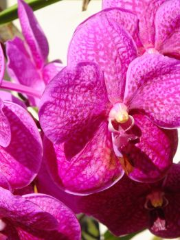 Moth Orchid by HeatherMichaelis666