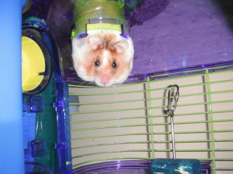 Chira The Hamster by TheSandvich