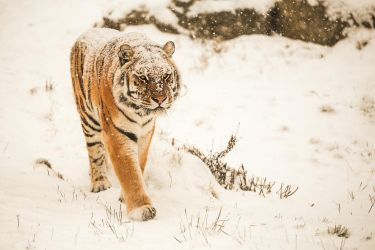 Big cats dont freeze by Quiet-bliss