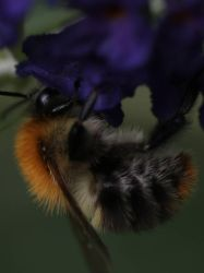 Bumblebee cropped by langeboom
