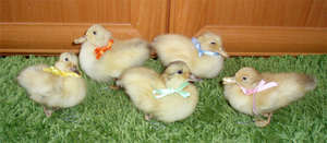 Little Ducklings by Ishtar-Creations