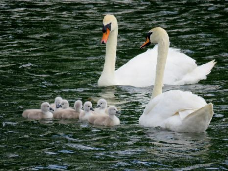 Swans and cygnets by delph-ambi