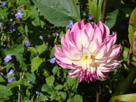 Dahlia rose II by Fairling
