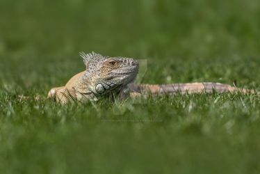 Iguana Lizard on Green Grass by photographybypixie
