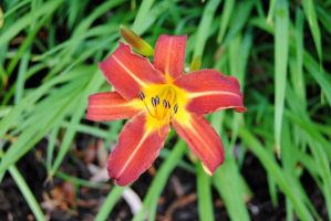NEW Zoo: Red and Yellow Lily by charliemarlowe