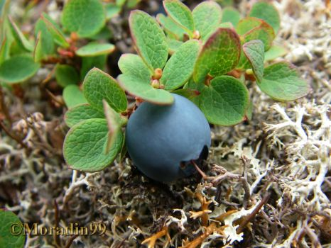 'Giant' northern blueberry by Moradin99