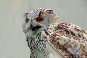 Siberian eagle owl 2 by MT-Photografien
