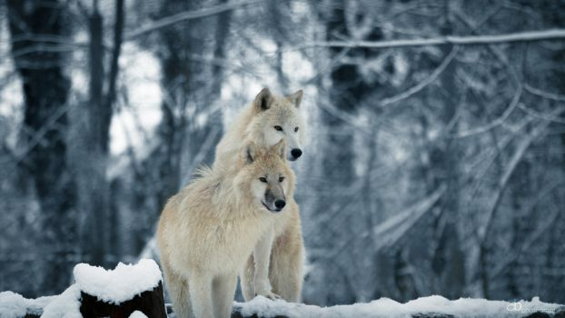 White wolves - Wallpaper by cluster5020