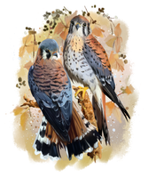 American Kestrel watercolor painting by Kajenna