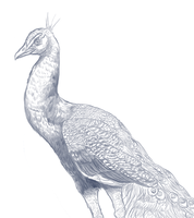 Peacock realism study by AMEcco