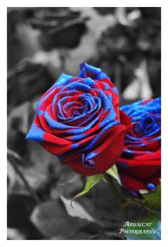 The blue and red rose by arualcat
