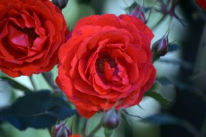 Red Rose by tonnyfroyen