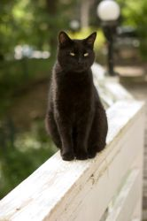 Black Cat 02 by deathbycanon-stock