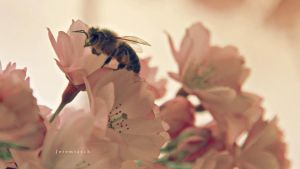 Bee in cherry blossoms by jeremiasch