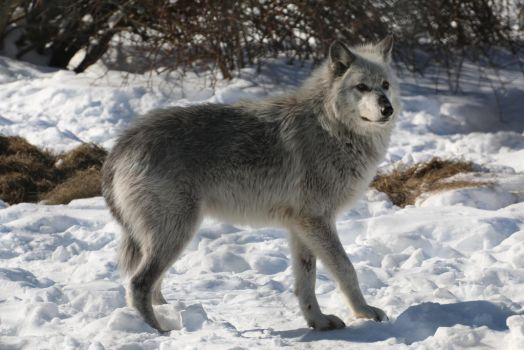 Gray Wolf Stock 29 by HOTNStock