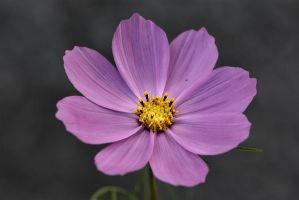 Pink Cosmea by OfTheDunes