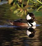 Hooded Merganser by Elluka-brendmer