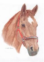 Chestnut horse with red halter by art-lounge