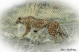 Cheetah by Scooby777