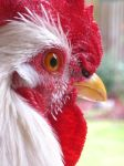 Tic Tac - Rhode Island White Rooster by mintymintymid