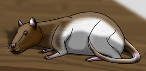 How I draw a Domestic Rat (request) download by horse14t