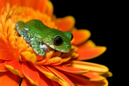 Peacock frog on orange flower by AngiWallace