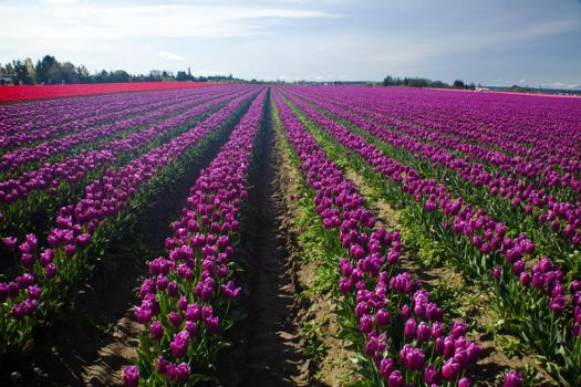 Purple Tulip Rows Converging 1 by AaronPlotkinPhoto