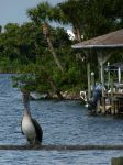 Pelican Pal by ecfield