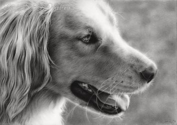 Golden Retriever In The Sunlight by Zindy