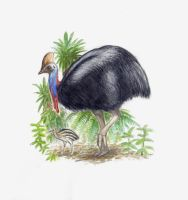 Cassowary by SpinoJP