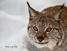 Hunting lynx by PictureByPali