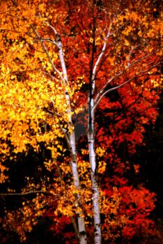Gold Aspen Red Maple Together by houstonryan