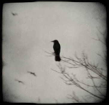 Crow Days by intao
