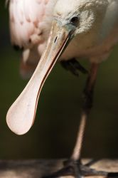 Spoonbill by secondclaw