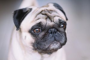 Pug by TimoWorld