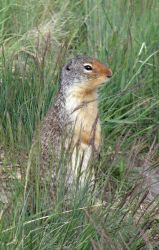 Waterton - Ground Squirrel by calzephyr