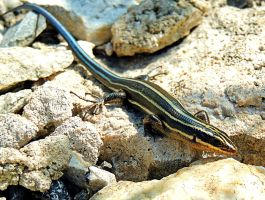 Buzzard Rocks Skink by TemariAtaje