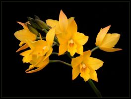 YELLOW ORCHIDS 2 by THOM-B-FOTO