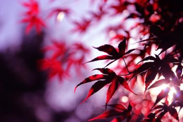 Glowing Red Maple by ClaraMcGuireArtistry