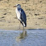 Grey Heron by YunaHeileen
