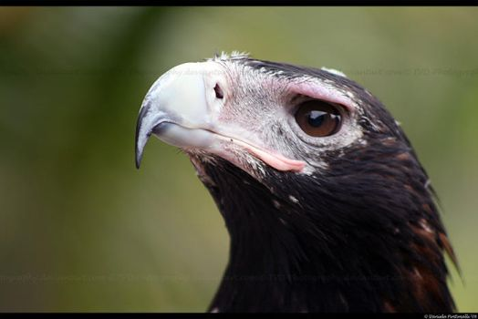 Eagle closeup by TVD-Photography